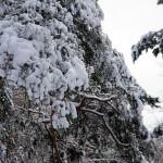 mit Schnee bedeckte Kiefern im Winter