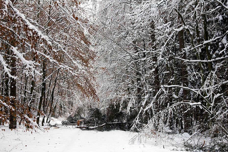 Umgefallene Bäume im Winterwald