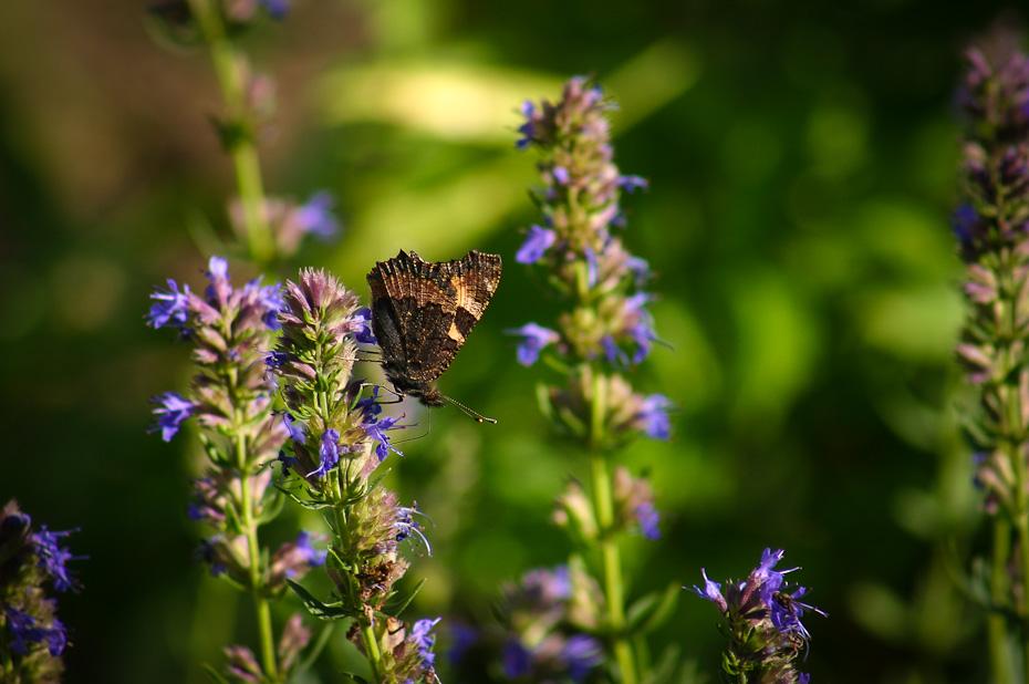 Kleiner Fuchs (Aglais urticae) an lila Blume