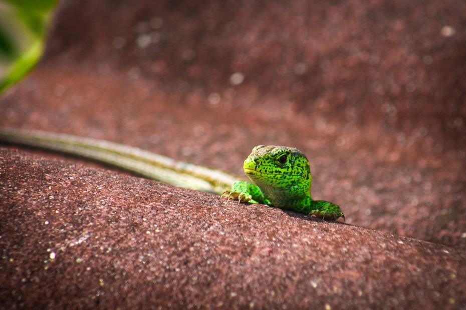 Grüne Zauneidechse (lacerta agilis) – männlich