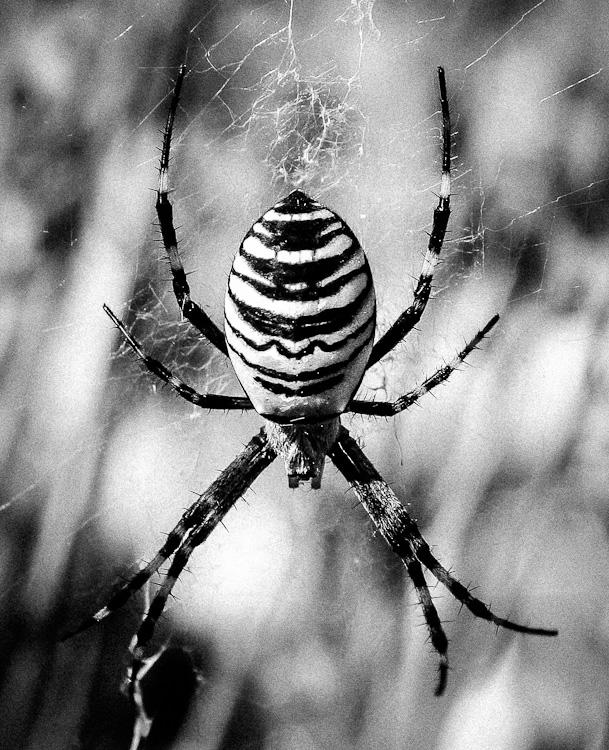 Wespenspinne (Zebraspinne / Tigerspinne)