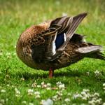 Ente ohne Kopf