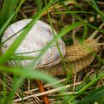Weinbergschnecke im Gras