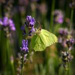 Zitronenfalter am Lavendel