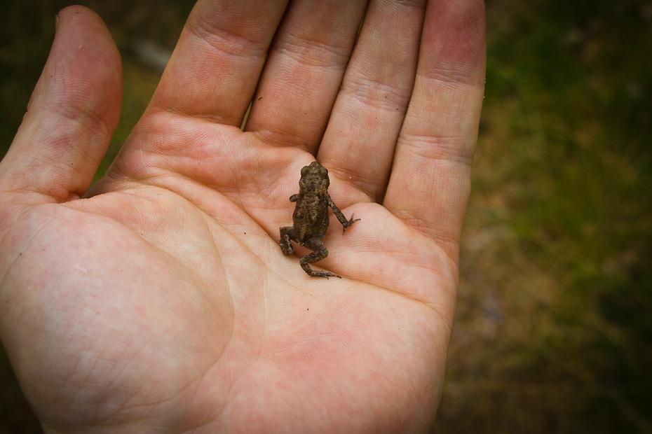 Erdkröte auf der Hand
