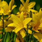 Gelbe Taglilie (Hemerocállis)