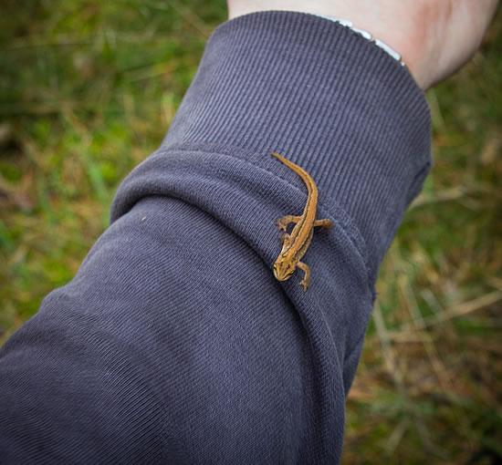 Mini Eidechse auf meinem Ärmel